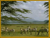Zebra grazing the african plains